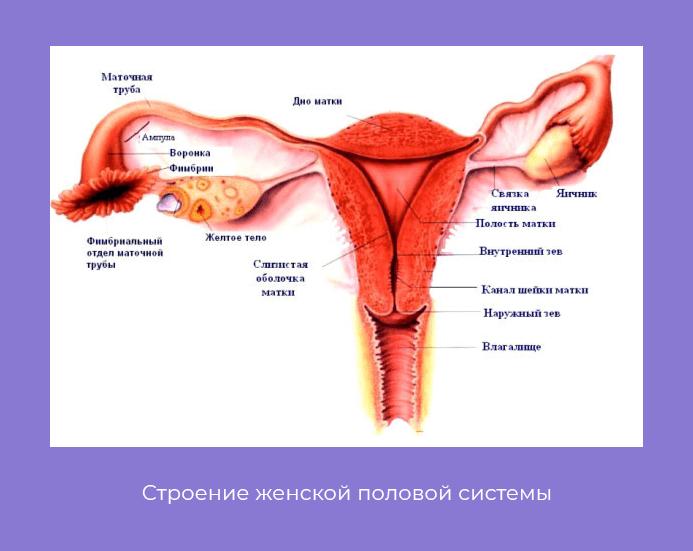 Органы женской половой системы